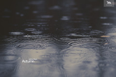 Rainy days (arcticbears) Tags: bear autumn rain puddle nikon day circles 85mm arctic rainy f18 d90 85mmf18d nikon85mmf18d arcticbear