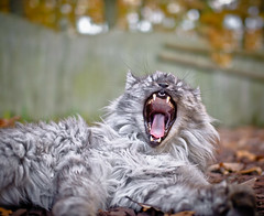 Yawning Rock (Jay Cassario) Tags: new autumn fall love leaves digital cat outside newjersey nikon feline rocks f14 tiger 14 maine lion nj rocky sigma explore coon mainecoon jersey therock ilovemycat dslr 30mm d90 cattery sigma30mm14 sigma30mm nikoncafe bestofcats bestofcat nikond90