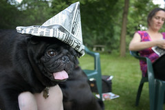 arrrrrrrg!! (phantom kitty) Tags: pink black green hat tongue paper backyard olive kensington pugs nigel kensi