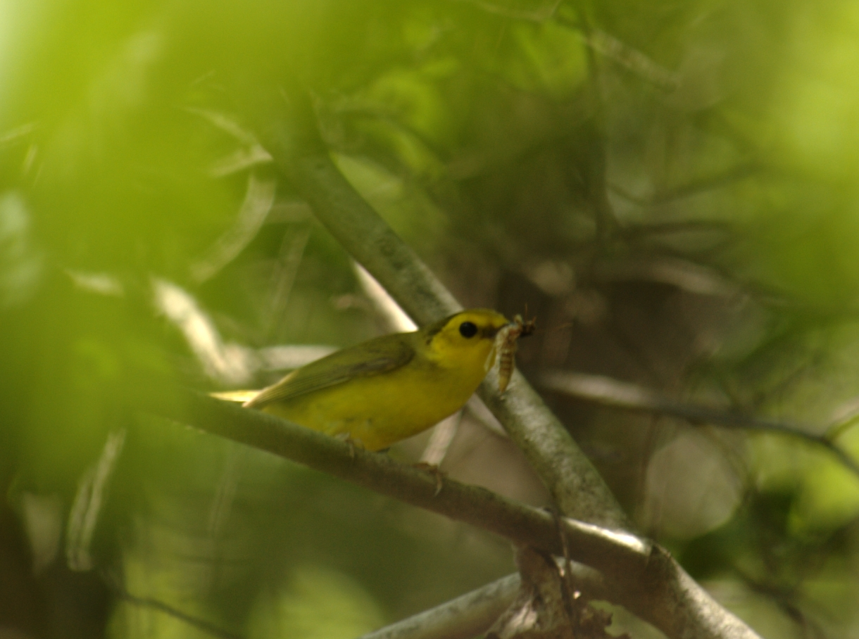 Hooded Warbler Female