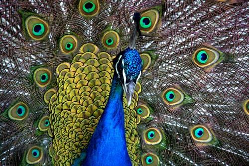 peacock [where men a real men]