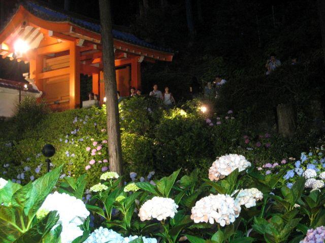 2007.6.17 三室戸寺 紫陽花ライトアップ1