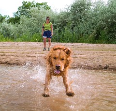 Stick's Eye View (benrobertsabq) Tags: summer dog newmexico water rio swim goldenretriever river grande warm dive nm chaco aquadog naturesfinest flickrsbest