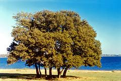 Oak Trees along Lake Bridgeport, Sid Richardson Boy Scout Ranch (StevenM_61) Tags: trees lake texas bridgeport clearsky oaktrees sidrichardsonscoutranch lakebridgeport