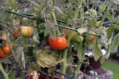 2007-08-12 (kren) Tags: tomato katwijk tamron2875mm 400d