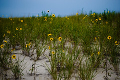 who am i and what have i done with myself (Diana Pappas) Tags: flowers grass dune nj atthebeach ahhhhh sandyhook layinginthesand perfectcoldlateafternoon watchingthedayend talkingaboutstuff notmyusualgoods staringattheswirlingcloudysky withjame