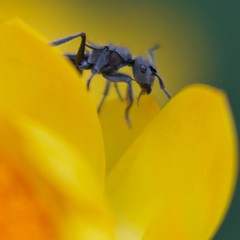 Macro ant (Tanya Puntti (SLR Photography Guide)) Tags: light color macro nature yellow closeup canon insect bright bokeh ant macroinsect canonmacro canonmacro100mm canon400d macroant