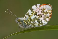 Flash lit Orange Tip (steb1) Tags: orange butterfly insect lepidoptera tip anthocharis cardamines