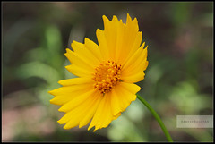 Earth laughs in flowers!... (ramesh.rasaiyan) Tags: flower color yellow closeup kerala chennai cochin kochi ernakulam edapally canoneosrebelt1i canon100mmf28lisusm rameshrasaiyan chennaiphotographers