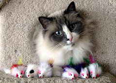 Trinity's Army (J Bespoy) Tags: cats cat trinity soe ragdoll blueribbonwinner cc400 cc1000 abigfave cat1000 kittysuperstar kissablekat bestofcats tunafished wowiekazowie thebiggestgroupwithonlycats cwccmouse