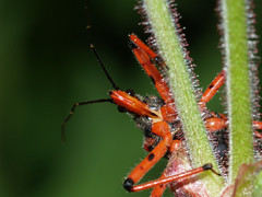 Rhinocoris iracundus (gripspix (catching up slowly)) Tags: red black bug predator rhinocorisiracundus