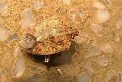 Bombay bug
