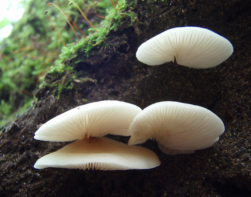 Crepidotus Applanatus Crepidotus Applanatus