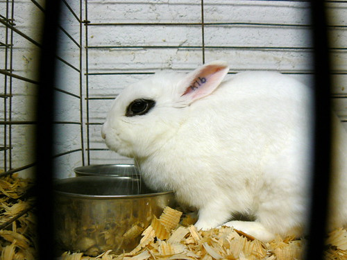 Dwarf Hotot, my favorite breed by Benimoto, on Flickr