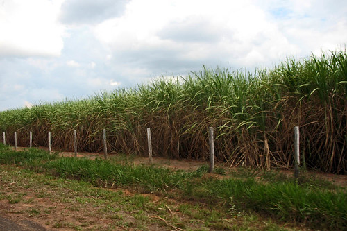 New monoculture of sugar-cane