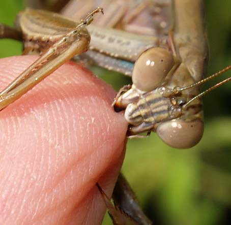 biting mantid