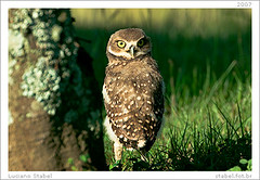 Fly by night! (Luciano Stabel) Tags: owl coruja