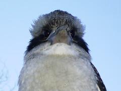 Kookaburra (Nell-B) Tags: wild bird animal australian alive animalplanet kookaburra australianbirds australiananimals
