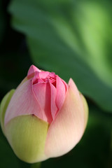 Lotus (: Ttine :) Tags: pink light sun plant green nature ecology leaves rose garden soleil leaf perspective creative jardin commons vert ombre shade lumiere creativecommons multiple vein pacifier feuille gist veines ecologie tetine planbois