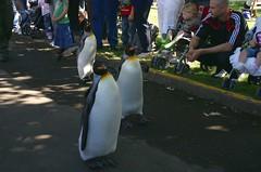 Edinburgh Zoo - penguin parade