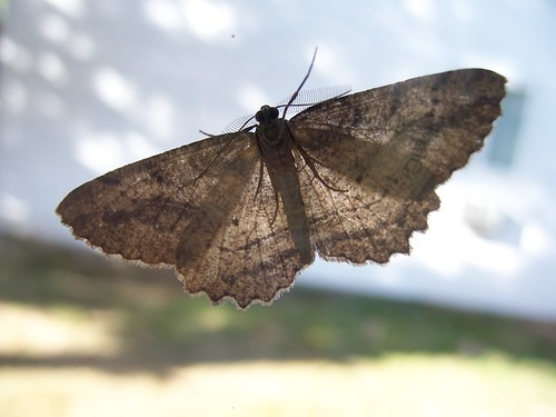 The Little Brown Moth