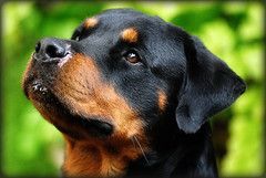 Inocent Look (Chandrahadi Junarto) Tags: dog pets nikon rottweiller d80