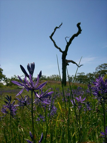 Camas and garry oak in Uplands Park