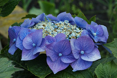 Circlet in Blue (Athena's Pix) Tags: flowers blue summer white macro green nature leaves wales garden circle lens parts 100mm inner summertime hydrangea outer 35 fertile sooc sonya350 largerflowers
