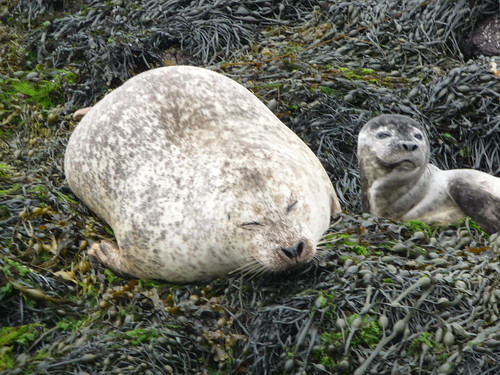Seal and Pup, Dunvegan