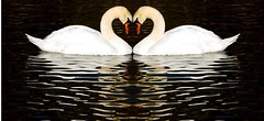 What God has joined together.... (littlebiddle) Tags: reflection nature water photoshop washington pond wildlife sony swans waterfowl yakima