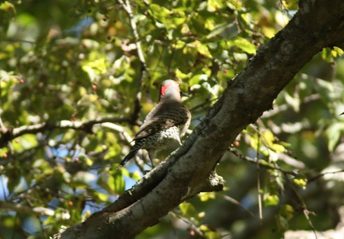Northern Flicker - 10/29/2010