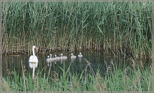 Schwanenfamilie - Swan family