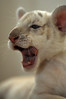 Choppers (fotoattack) Tags: white cub searchthebest tiger rare whitetiger babyanimal fotoattack specanimal whitetigercub impressedbeauty doonkeyywashere babywhitetiger
