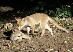 Fox Cubs in Russia Dock Woodland