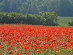Poppies (Ingrid0804) Tags: denmark poppy naturesfinest rrvig nakke abigfave aplusphoto ultimateshot photoexplore explorewinnersoftheworld qualitypixels alemdagqualityonlyclub 100commentgroup