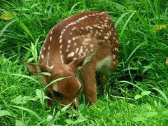 A Very Young Fawn (cyberastrofolkie) Tags: nature animals rural outdoors newjersey deer somersetcounty theworldisbeautiful sonydsch5b