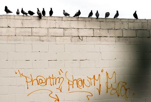 ph@ntm pigeons