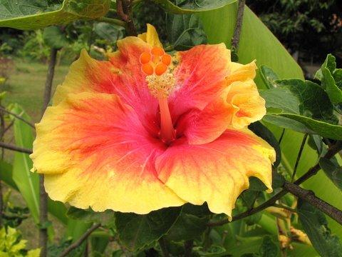 Hibiscus, indra dhanush 150707