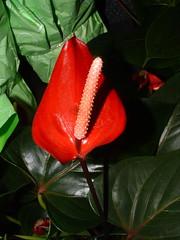 Aloha (jnoriko) Tags: flowers flower leaves lily hawaiianlily