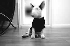 blackblurry (kunoan) Tags: english digital blackwhite bull terrier muji gr ricoh