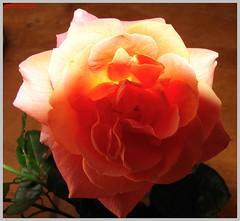 lachsfarbene Rose