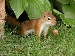 Écureuil roux -- Red Squirrel (Gilles Gonthier) Tags: canada nature animal mammal rodent squirrel rodentia redsquirrel mammifère écureuil sciuridae tamiasciurushudsonicus rongeur canonpowershota620 Écureuilroux gg52922007