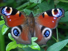 A tame peacock  butterfly (Glockenblume) Tags: garden butterflies garten schmetterlinge peacocks photopostcard naturesfinest supershot tagfalter abigfave pfauenaugen threepeacocks specinsects theperfectphotographeraward opequenogigantesmacro