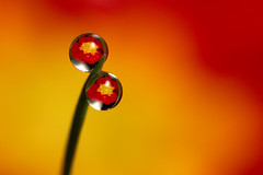 Primrose dewdrop refraction (Lord V) Tags: flower macro water dewdrop refraction