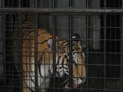 Sri Chamarajendra Zoological Gardens (dciandy) Tags: india zoo tiger mysore bengaltiger mysorezoo srichamarajendrazoologicalgardens