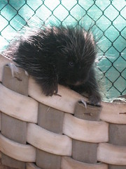Porcupine at Big Bear's Moonridge Zoo