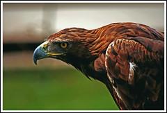 "Aguila Real  ""Golden Eagle"" (Jose A.G.H.) Tags: naturaleza nature animal canon real eos 350d zoo golden europa eagle goldeneagle aguila cabarceno aguilareal"