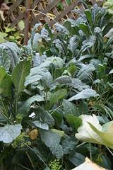 kale growing