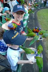 Currumbin wildlife sanctuary (mrk_arvin) Tags: rainbow queensland lorikeets currumbin