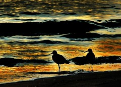 Season Finale (seddeg ~) Tags: sunset reflection beach water golden waves florida silhouettes coastal tropical sandpipers stpetebeach seasonfinale shorebirds emptynest passagrillebeach pairofbirds dsc0786324 psalm10419 howsummerturnstoautumninthetropics